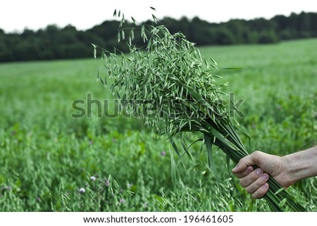 farmer holding a of oat bunch close up in summer sunny day  - stock photo