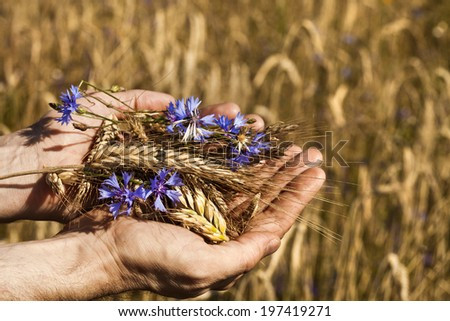 farmer holding a spikelets of rye against the background of the autumn field  - stock photo