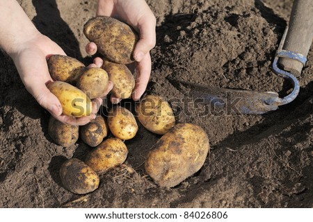 Farmer holding dirty potatoes in his hands - stock photo