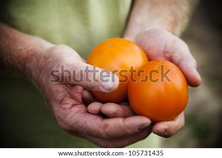 Farmer Holding Heirloom Tomatoes - stock photo