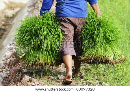 farmer holding rice - stock photo