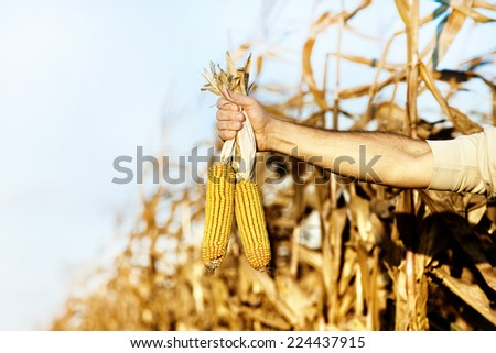 Farmer holding two corn cobs in hand in corn field - stock photo