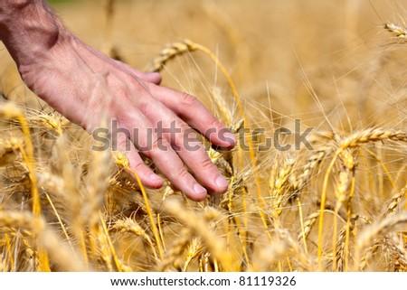 Farmer in field touching his wheat ears - stock photo