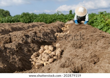 farmer in the potato field - stock photo