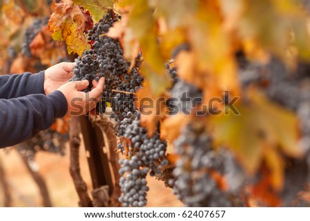 Farmer Inspecting His Ripe Wine Grapes Ready For Harvest. - stock photo