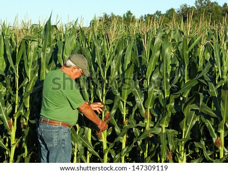 Farmer inspects what appears to be a bumper crop of corn for this year's harvest - stock photo