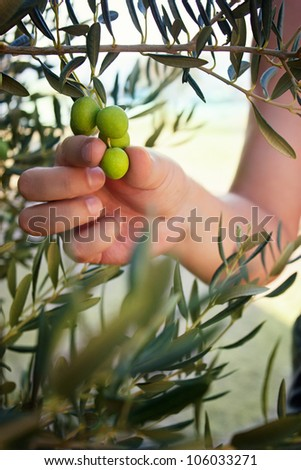 Farmer is harvesting and picking olives on olive farm. Gardener in Olive garden harvest - stock photo