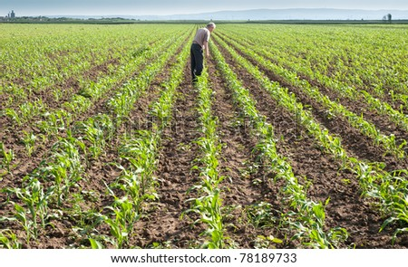 Farmer looking at rows of corn - stock photo