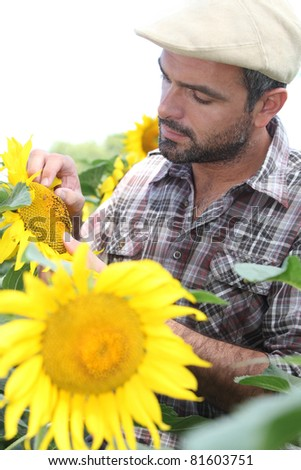 Farmer looking at sunflower - stock photo