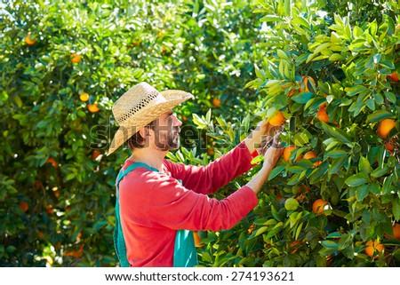 Farmer man harvesting oranges in an orange tree field - stock photo