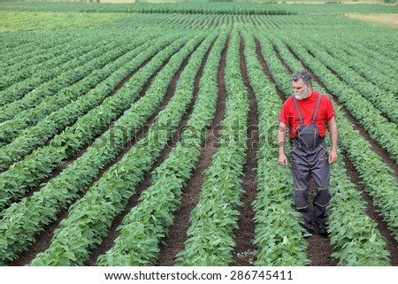 Farmer or agronomist examine soybean plant in field - stock photo
