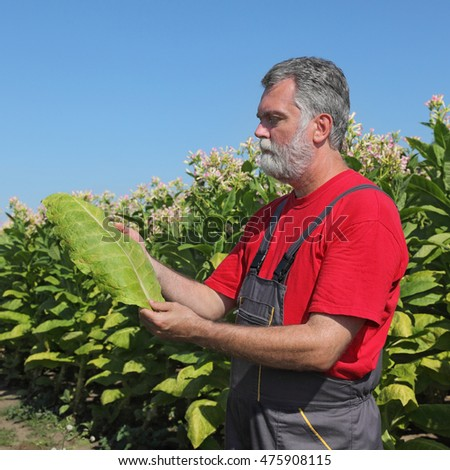 Farmer or agronomist in tobacco plant field hold leaf in hands