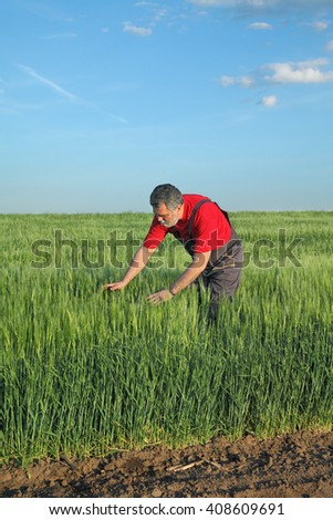 Farmer or agronomist inspect quality of wheat in early spring and late afternoon - stock photo