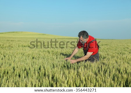 Farmer or agronomist inspect quality of wheat in late spring - stock photo