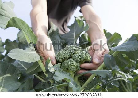 farmer picking broccoli - stock photo