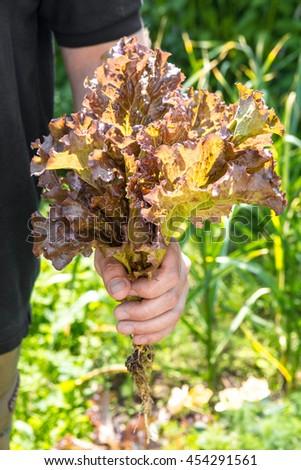Farmer picking fresh lettuce from her garden - stock photo