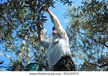 farmer picking olives from tree - stock photo