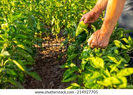 Farmer picking ripe bell peppers in the vegetable garden  - stock photo