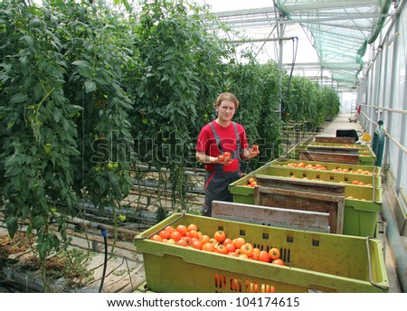 Farmer picking tomato in a greenhouse, sorting and grading - stock photo