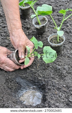 farmer planting a cucumber seedling in the vegetable garden in series, 2 of 4 - stock photo