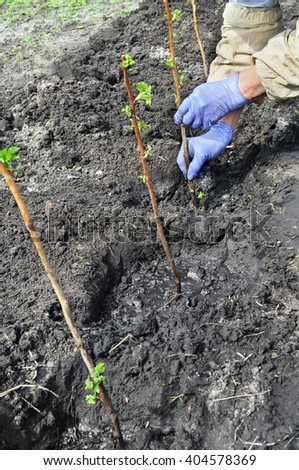 farmer planting a  raspberry seedling in the vegetable garden - stock photo
