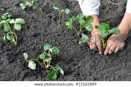 farmer planting a strawberry seedling in the garden - stock photo