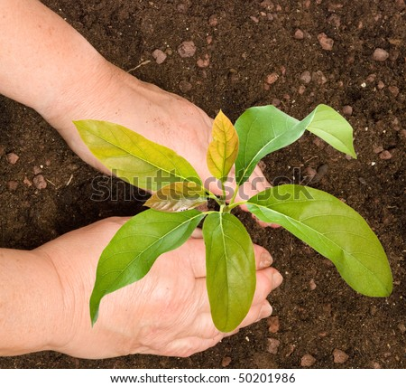 Farmer planting avocado tree