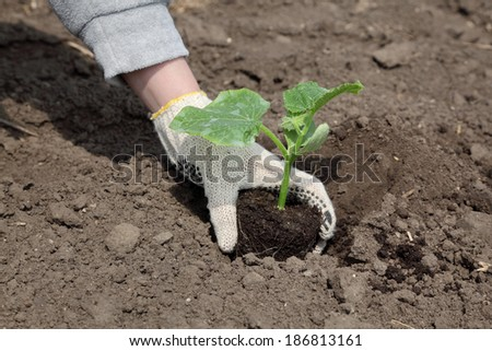 Farmer planting cucumber seedling to ground in field - stock photo