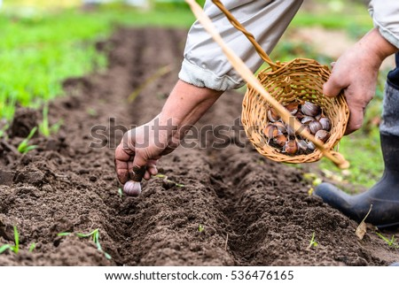 Farmer planting garlic in the vegetable garden. Autumn gardening. Local farming concept.