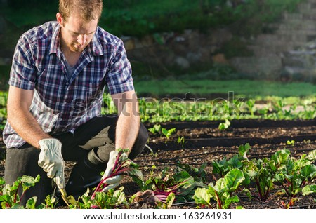 Farmer planting harvesting organic vegetables in the urban farm garden on a sunny day  - stock photo