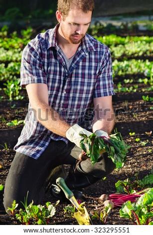 Farmer planting harvesting organic vegetables in the urban farm garden on a sunny day  - stock photo