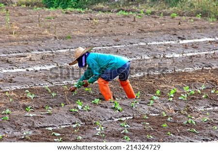 farmer planting seed lettuce - stock photo