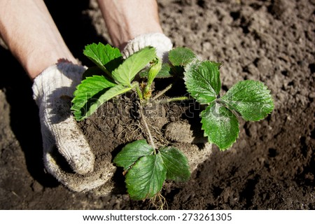 Farmer planting young seedlings of strawberry - stock photo