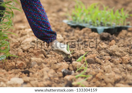 Farmer planting young sprouts from nursery tray into the ground - stock photo