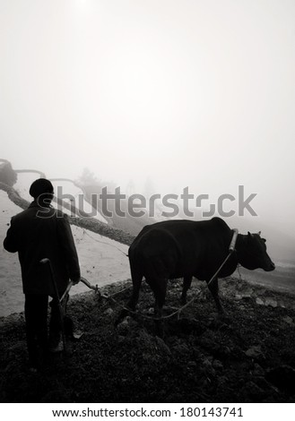 Farmer Preparing Rice Terraces With an Ox, Guangxi, China - stock photo