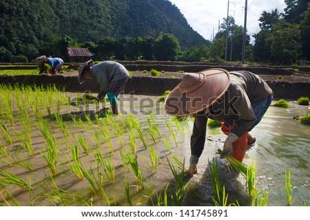 Farmer Rice farming - stock photo