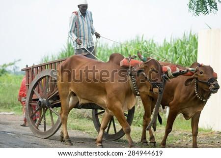 Farmer riding bullock cart, rural village, Salunkwadi, Ambajogai, Beed, Maharashtra, India. - stock photo