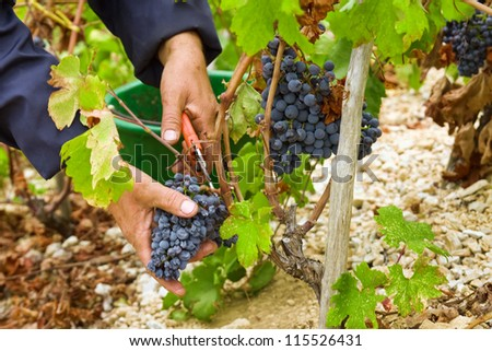 Farmer's hand cut grape - stock photo