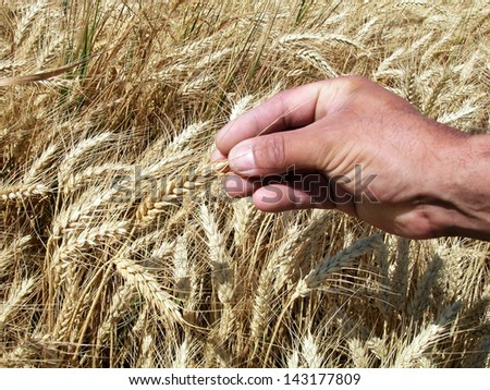 Farmer's hand holding wheat ears - stock photo
