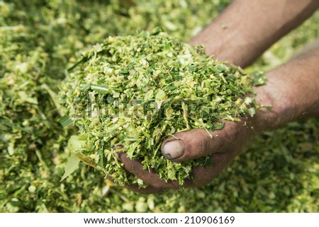 Farmer's hands holding corn maize silage  - stock photo