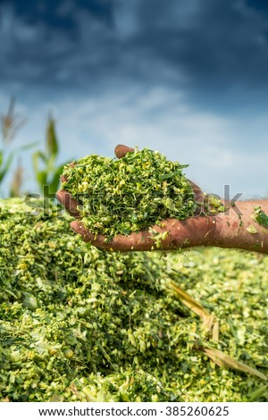 Farmer's hands holding freshly harvested silage corn maize - stock photo