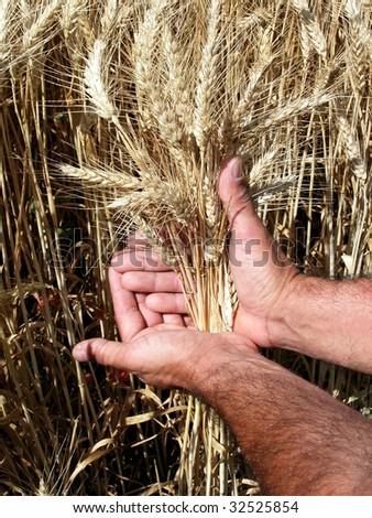 Farmer's hands holding wheat ears - stock photo