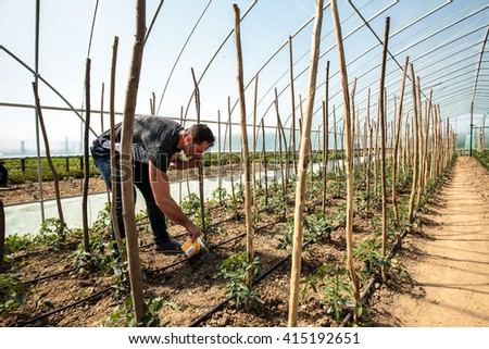 Farmer selectively watering tomatoes in a greenhouse - stock photo