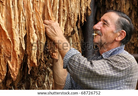 Farmer smokes a cigarette and looks dry tobacco leaf - stock photo