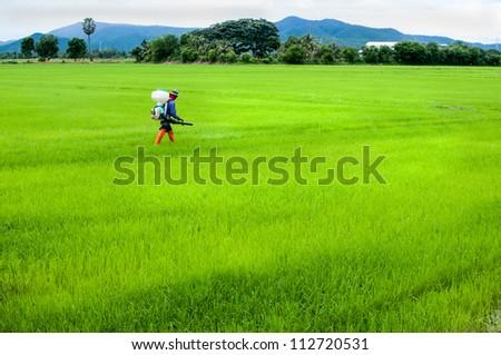 farmer spray insecticide in rice field - stock photo