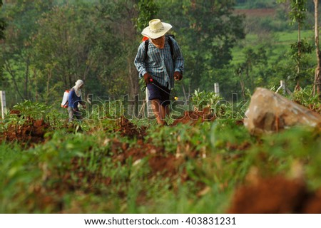 farmer spraying pesticide in the cassava field, in the morning - stock photo