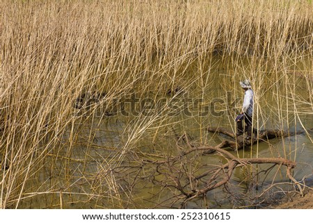 Farmer standing in swamps dry with Sesbania death is everywhere. - stock photo