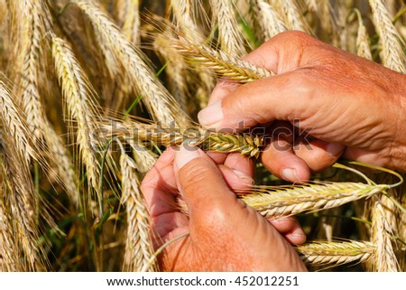 Farmer testing wheat crops on field closeup