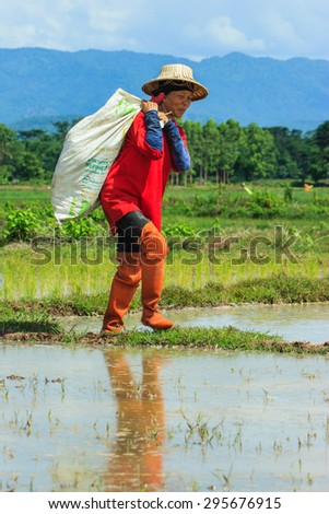 Farmer - Thailand women workers in the rice paddy. Her hard work and patience to get the grain in the future - Mae Tha Lampang, Thailand -12 July 2015.