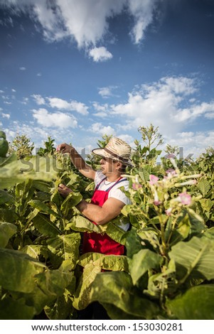 farmer tobacco - stock photo